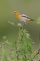 Bullock's Oriole, Icterus bullockii, female, Starr County, Rio Grande Valley, Texas, USA, May 2002
