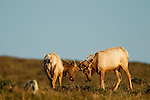 Tule Elk (Cervus elaphus nannodes) bulls sparring, Point Reyes National Seashore, California
