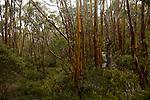 Ecorces mutlicolores d'eucalyptus, alpine yellow gum (eucalyptus subcrenulata).