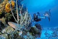 Jason Belport and Spot, a wild sociable bottlenose dolphin, Tursiops truncatus, investigate a nurse shark, Ginglymostoma cirratum, resting on a patch reef, Cayman Brac Caribbean