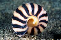 Augur shell, Terebra strigata, Cocos Island, Costa Rica, Pacific Ocean