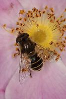 Kleine Bienen-Schwebfliege, Kleine Bienenschwebfliege, Eristalis arbustorum, Blütenbesuch, Nektarsuche, Bestäubung auf Rose, Rosa, lesser drone fly