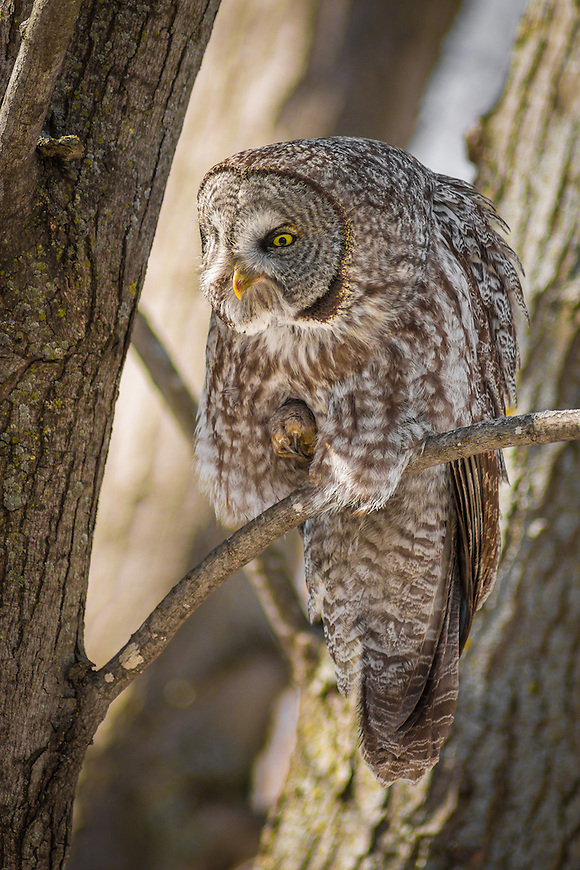 """A Great Gray Owl -- also known as the """"Phantom of the North"""" and the """"Great Gray Ghost"""""""