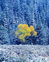 749450284v a fall colored isolated aspen tree  populous tremuloides shows in brilliant yellow framed by snow covered fir trees in grand tetons national park wyoming