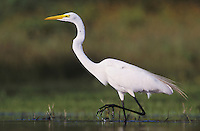 Great Egret, Ardea alba,adult, Willacy County, Rio Grande Valley, Texas, USA