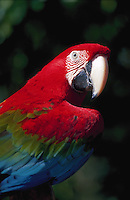 Red and green Macaw, Photographed in captivity, Native to South America