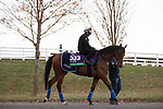 November 4, 2020: Lord North, trained by trainer John H.M. Gosden, exercises in preparation for the Breeders' Cup Turf at Keeneland Racetrack in Lexington, Kentucky on November 4, 2020. Gabriella Audi/Eclipse Sportswire/Breeder's Cup/CSM
