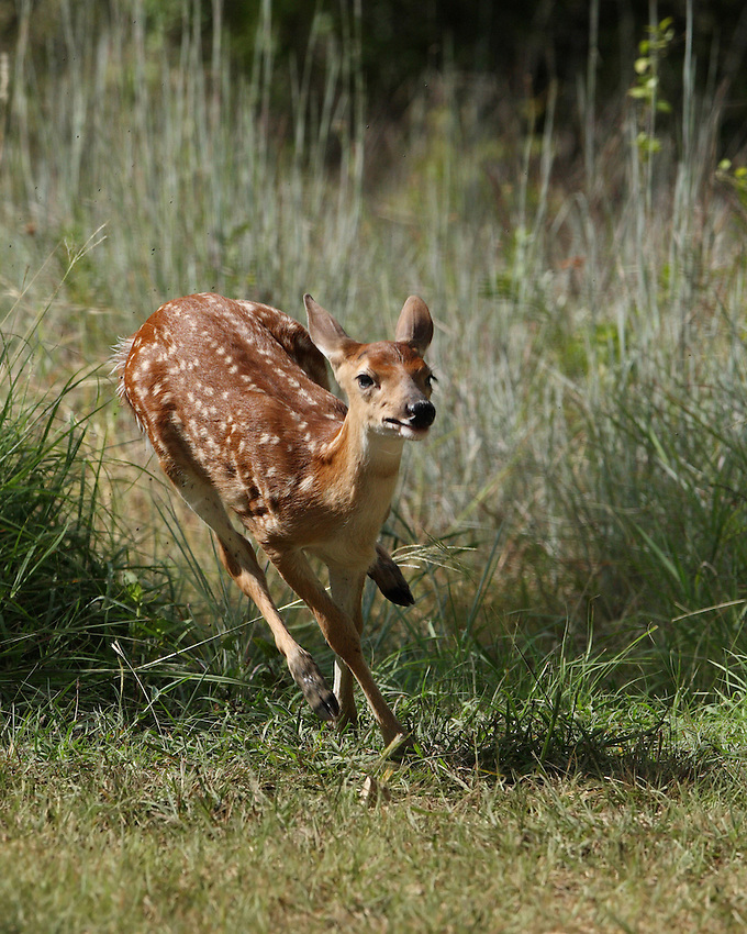 White-tailed Deer fawn (Odocoileus virginianus) running through a low-lying muddy area.
