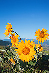 Arrow Leaf Balsamroot flowers on Mount Sentinel in Missoula, Montana with Lolo Peak in the background