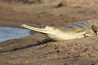 Indian Gharial sunning itself on the banks of the Chambal River in Uttar Pradesh