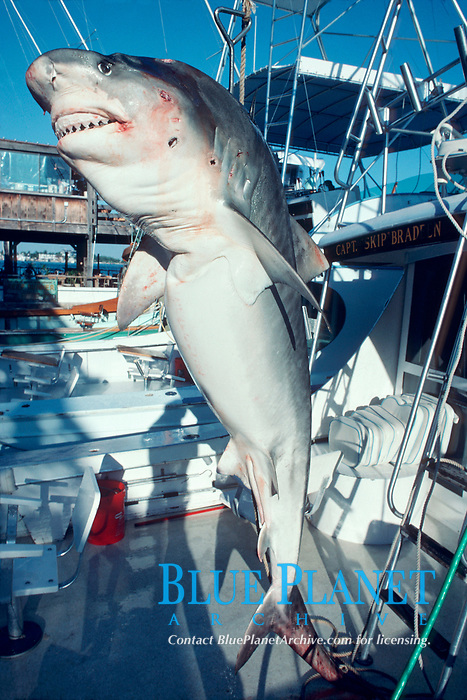 tiger shark, Galeocerdo cuvier, riddled with bullet holes by sport fisherman; only the jaws were used, Florida Keys