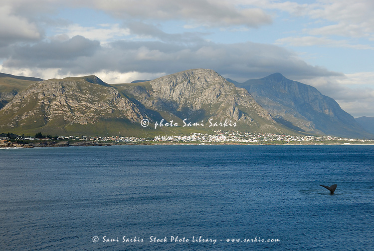 Tailfin of a Southern right whales (Eubalaena australis) and Hermanus Bay - South Africa, South Western Cape, Hermanus