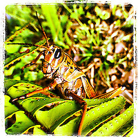 Southeastern Lubber Grasshopper on a fern in Florida, iPhone photo from the instagram photostream of bcpix, Florida-based freelance photographer Brian Cleary. (Photo by Brian Cleary/ www.bcpix.com)