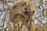 North American porcupine (Erethizon dorsatum)--also known as the Canadian porcupine or common porcupine--up in bush.  Western U.S., late fall.