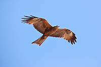 Black Kite, Lee Point, Darwin, NT, Australia