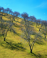 A grove of walnut trees in early spring. California.