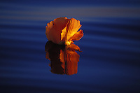 A flower floating in a glassy calm sea at sunset, Tahiti, Society Isles, French Polynesia
