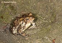 0304-0918  American Toad, © David Kuhn/Dwight Kuhn Photography, Anaxyrus americanus, formerly Bufo americanus