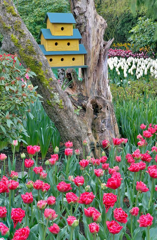 Roozengaarde display garden with birdhouse and mixed tulips. Mt. Vernon. Washington