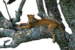 "Myriad shades of sapphire, aquamarine, and brilliant green lichens play off the jewel-like eyes of a leopard, who spends afternoons taking refuge in her favorite ""sausage"" tree."