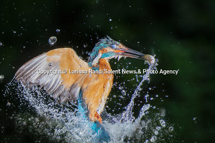 """A colourful kingfisher dives into water after perching on a photographer's camera lens to scour the lake for food.  Photographer Larissa Rand was watching the bird at a small lake near the Dutch city of Naarden.<br /> <br /> The 46 year old was waiting in a hide for the perfect shot, when the brightly-coloured kingfisher landed right on top of her camera, using it as a vantage point to look for food and then as a diving board to spring into the water.  She said: """"I was in a special hide close to the breeding location of a couple of kingfishers. A perfect place to observe and photograph these kingfishers, without disturbing them.  SEE OUR COPY FOR DETAILS.<br /> <br /> Please byline: Larissa Rand/Solent News<br /> <br /> © Larissa Rand/Solent News & Photo Agency<br /> UK +44 (0) 2380 458800"""