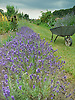 Lavender and a wheelbarrow on the Allotment<br />