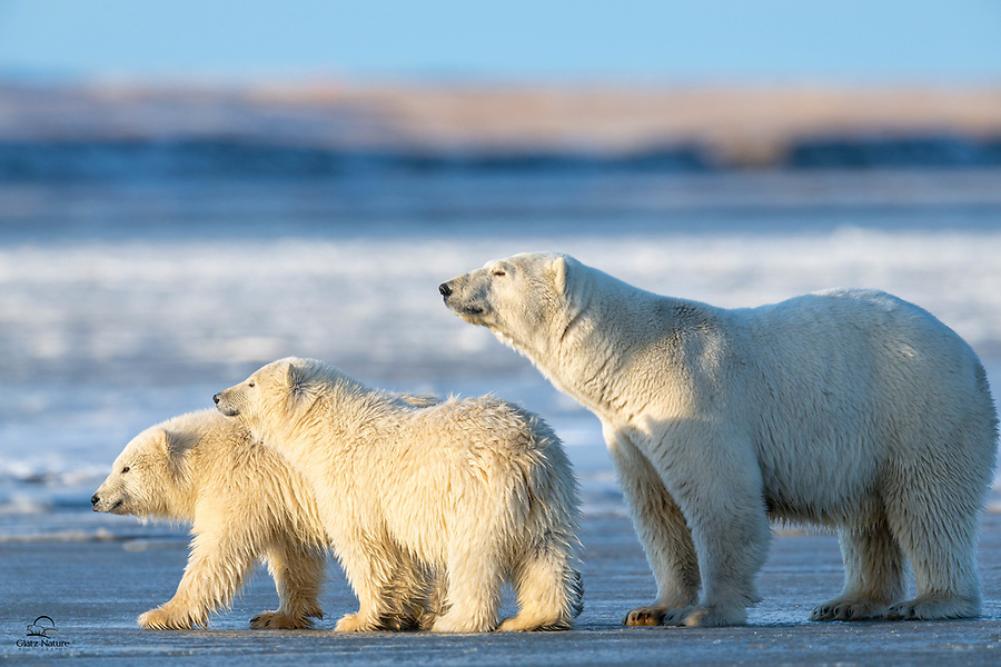 Mother bear and two spring Polar Bear (Ursus maritimus) cubs cross the icy bay. Freeze up was far enough along at this point to support their weight in this area.