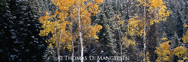 Changing aspens during an early season snowfall near Sun Valley, Idaho.