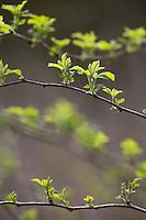 Wilde Himbeere, junge, zarte Blätter vor der Blüte, Himbeer-Ranken, Rubus idaeus, Raspberry, Rasp-berry