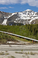 Cow moose on Little Miller Creek drainage, trans Alaska oil pipeline, Alaska Range mountains, Interior, Alaska.