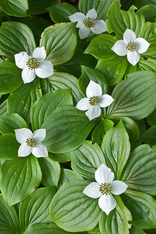 Bunchberry dogwood (Cornus canadensis) at Acadia National Park, Maine, USA