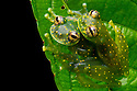 Amplectant pair of Yellow-flecked Glassfrogs {Sachatamia albomaculata} in vegetation above a rainforest stream. Osa Peninsula, Costa Rica. May.