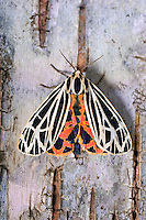 Parthenice Tiger Moth (Grammia parthenice) reveals colorful abdomen and hindwings as it lands on birch bark. Summer. Nova Scotia, Canada.