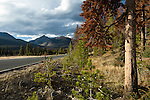 Trail Ridge Road, Kawuneeche Valley, dying conifer forest, lodgepole pine, mountain pine beetle, young trees, forest succession, natrual history, nature, travel, October, Rocky Mountain National Park, Colorado, USA