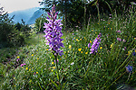 Broad-leaf Marsh Orchid (Dactylorhiza majalis) growing in Alpine meadow. Nordtirol, Tirol, Austrian Alps, Austria, 1800 metres, July.