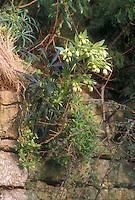 Helleborus foetidus growing on stone wall, perennial hellebore in flower