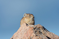 American pika (Ochotona princeps) sunning itself on a favourite rock lookout.  Beartooth Mountains, Wyoming/Montana border.  Summer.  This photo was taken in alpine setting at around 11,000 feet (3350 meters) elevation.