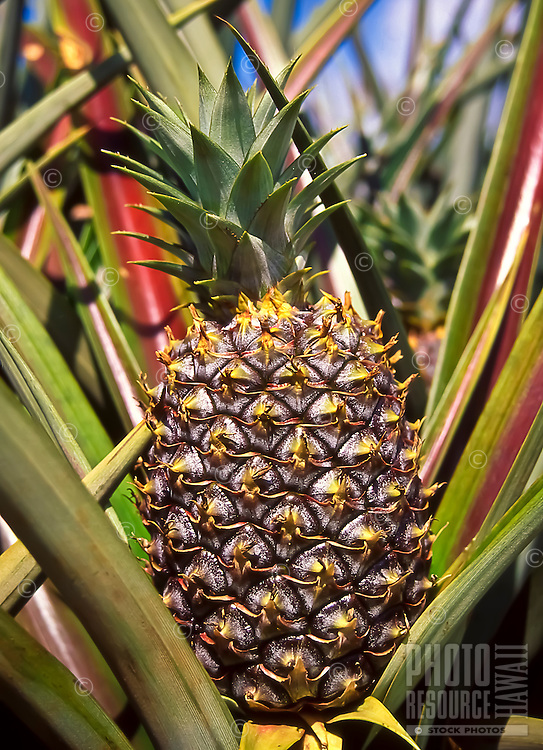 End of an era on Maui: Maui Land and Pineapple ceased Maui pineapple operations at the end of 2009 after growing the iconic Hawaiian fruit for 100 years.