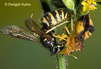 AM02-548z  Ambush Bug female, feeding on Sandhills Hornet prey with long sharp beak,  Phymata americana