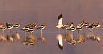 American Avocet, Owens Lake, California