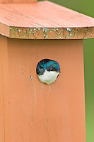 Tree Swallow (Tachycineta bicolor) common in any woodland habitat near water.  Will use nesting boxes.  Spring. Mountsberg Conservation Area, Campbellville, Ontario. Niiagara Escaprpment. Canada.