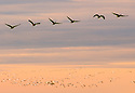 Layer upon layer of migrating geese at sunset...