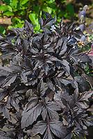 Dahlia 'Knockout' (foliage) dark purple black leaves
