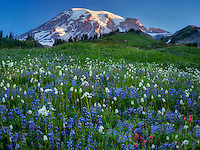 Wildflower meadow and Mt. Rainier. Mt. Rainier National Park, Washington