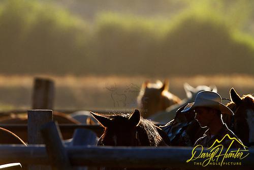 Backlit cowboy, remuda