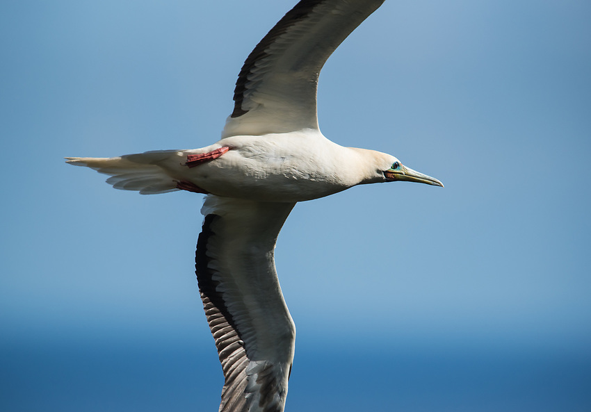 Red-Footed Booby (Sula sula)-- Kauai. Photo by James R. Evans