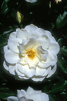 Rosa 'Iceberg white rose, climbing rose