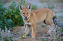 The alpha pup from the Meggity pack of Ethiopian wolves in the Web Valley, Bale Mountains National Park.