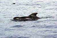 short finned pilot whale, Globicephala macrorhynchus, note cookie cutter shark wound, Kailua Kona, Big Island, Hawaii, Pacific Ocean