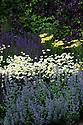 Mixed herbaceous border containing Anthemis tinctoria 'E.C. Buxton', Salvia nemorosa 'Ostfriesland', Nepeta,  Achillea, and Clematis viticella 'Étoile Violette', Town Place, late June.